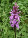 gevlekte orchidee