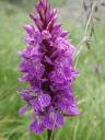 gevlekte-orchidee