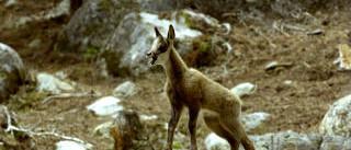 fauna pyreneeen