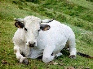 koe in de pyreneeen
